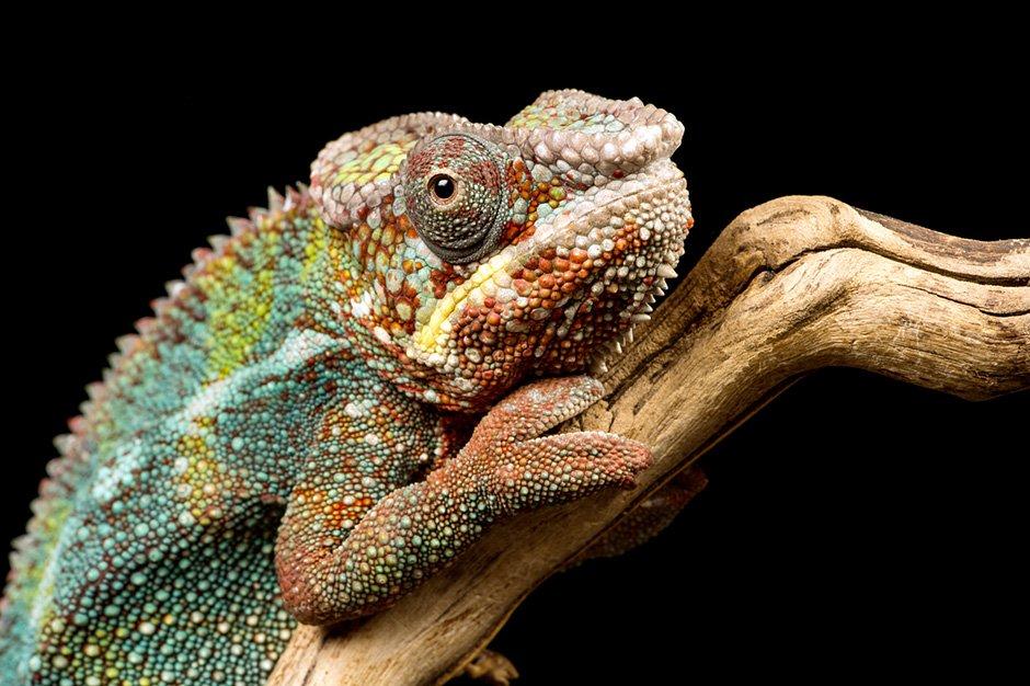 Panespol_Chameleon2